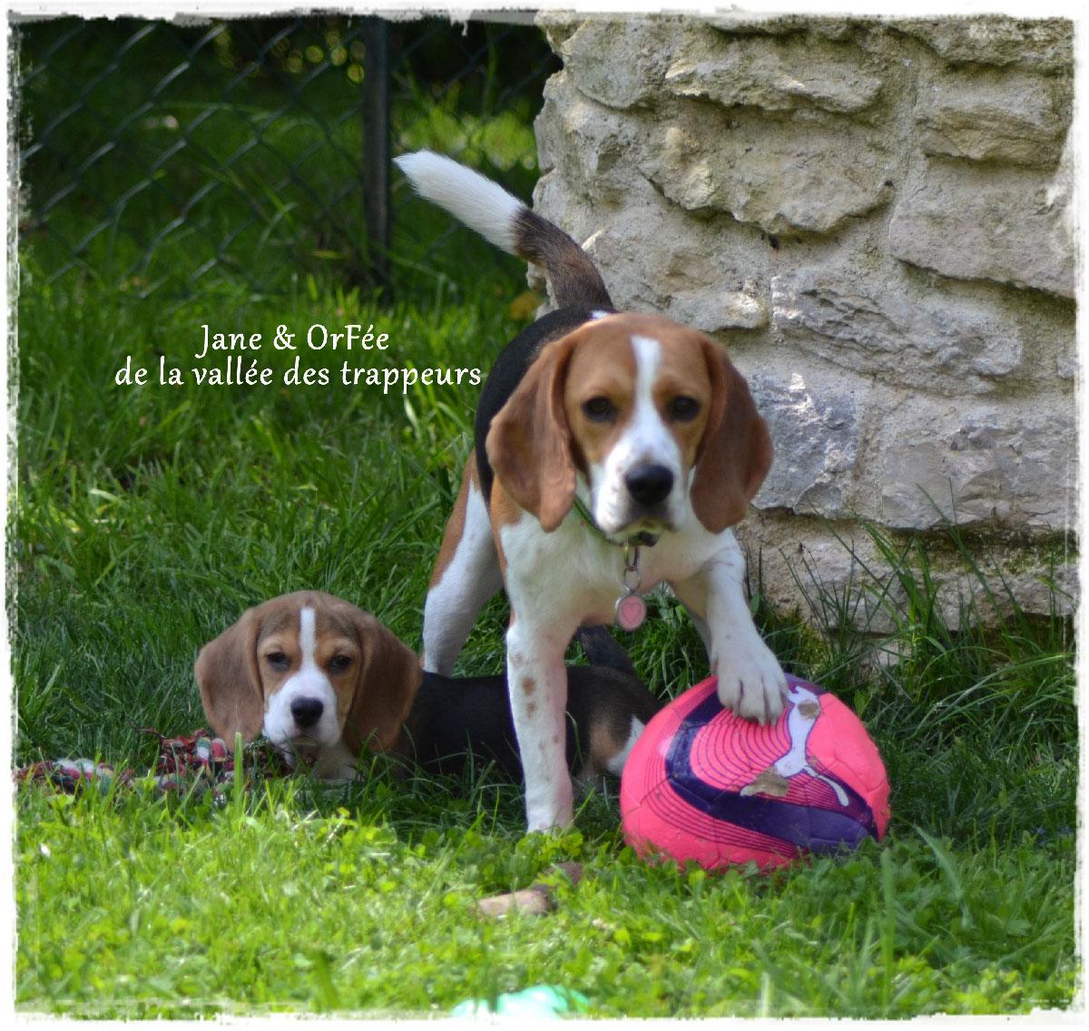 Adopter un chiot beagle elevage de la vall e des trappeurs - Chiot beagle gratuit ...